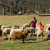 Children and adults alike enjoyed petting the sheep in the pasture next to the barn.