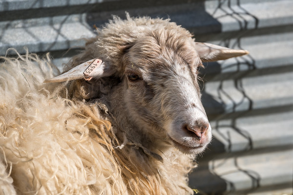 Misc photos of our sheep and goats at Kyler's farm in Berthoud, CO, USA on February 2, 2020.