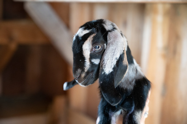 Tess, 2 days old,  Cheese's new baby. Photographed on May 27, 2020.