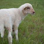 Starla, newest lamb Photographed on May 27, 2020.