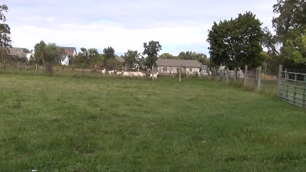 sheep for sale Oct. 4 2018