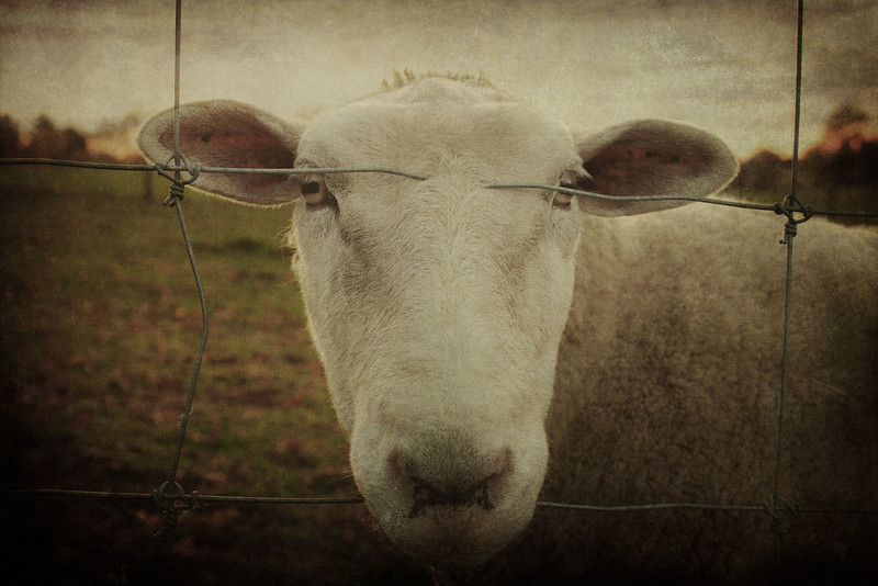 sheepcloseup5