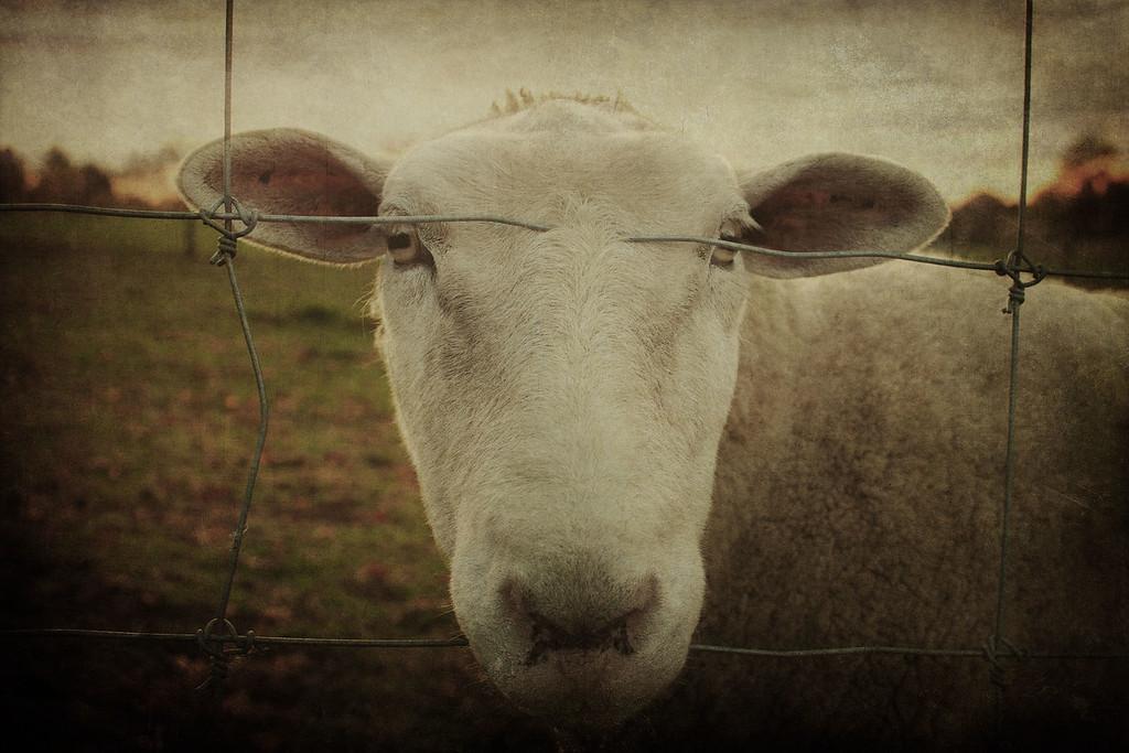 sheepcloseup5