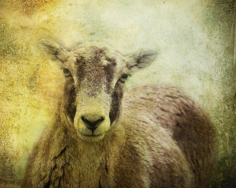 Highparksheep