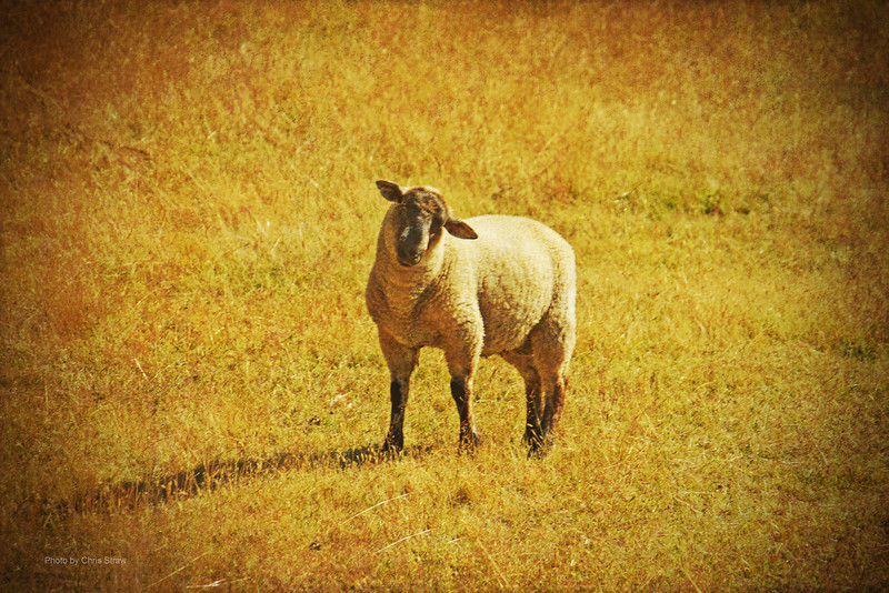 1 sheep
