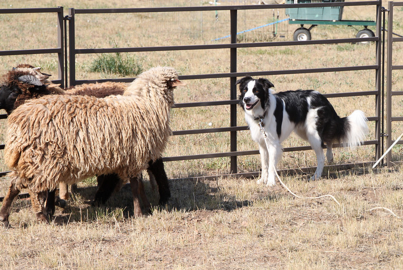 WBCR rescue pup.  Don Helsley took several of the Western Border Collie dogs into a round pen with some dog-broke sheep to do instinct testing.  This sweet little gal will make a lovely frisbee dog!