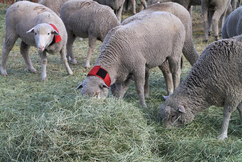 Happy sheep in the exhaust pen.
