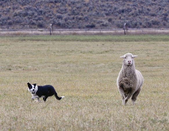 sheepdog trials 2013-strang ranch