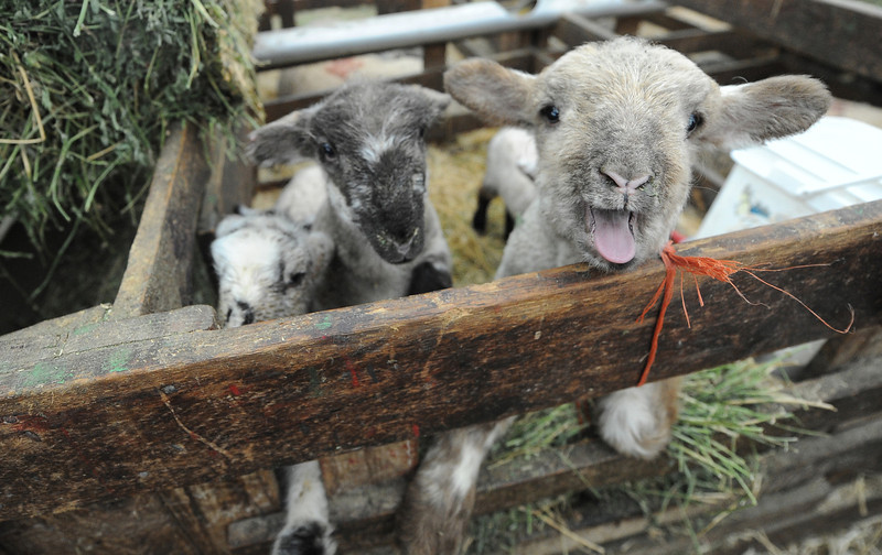 Photo by Bill Schaefer<br /> Three curious lambs in the lambing sheds at the Etcheverry Sheep Company outside of Rupet, Idaho.