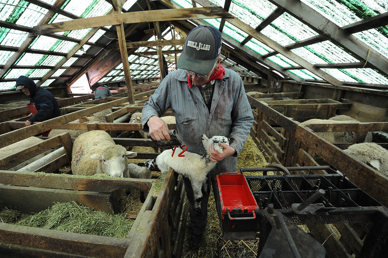 Henry Etcheverry brands a lamb with red paint to identify which ewe it belongs to in his lambing shed outside of Rupert, Idaho.