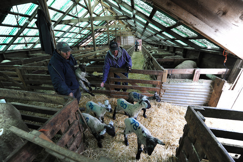 Photo by Bill Schaefer<br /> Moving lambs from the lambing shed to the corrals outside.