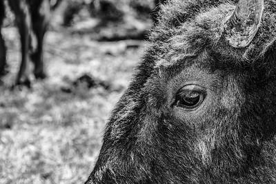 Buffalo at Shelby Farms