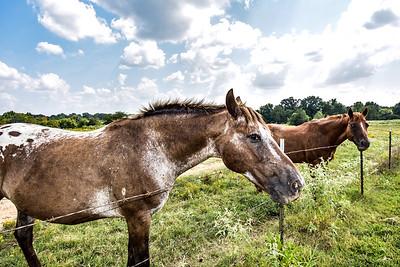 Horses at Shelby Farms