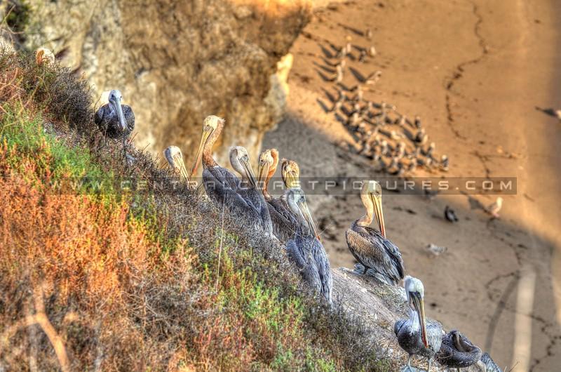 pelicans_3263