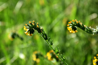 Common fiddleneck (Amsinckia menziesii)