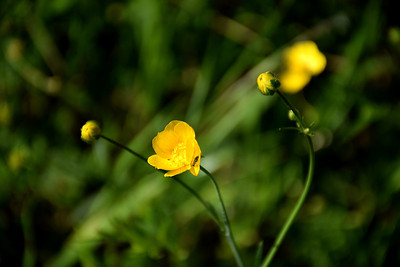 California Buttercup (Ranunculus californicus)