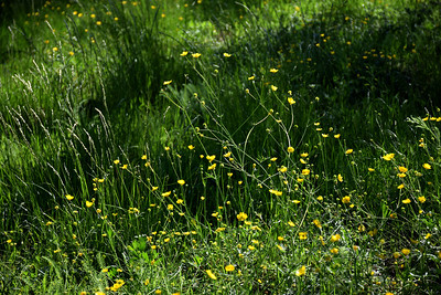 Field of California buttercups