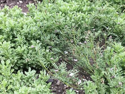 Hesperavax & Astragalus