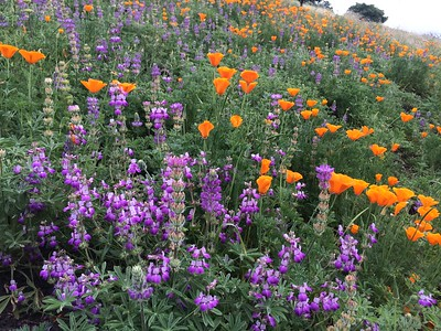 Lupinus microcarpus and Poppies