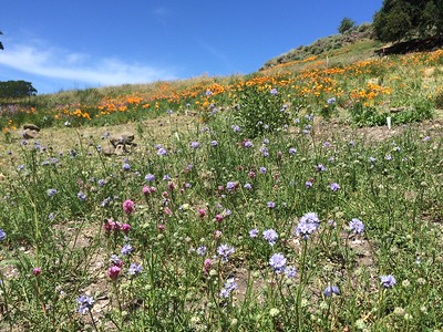 Gilia achillaeafolia and Purple Owl's Clover