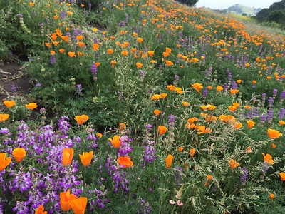 Lupines, Poppies and Poa secunda grass flowers