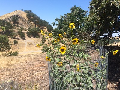 Debate continues on the nativity of occasional occurences of Helianthus annuus. This photograph was taken on July1, 2015. It was still in full flower, without ever having any supplemental irrigation, on August 1, 2016. It is growing on a South facing slope.