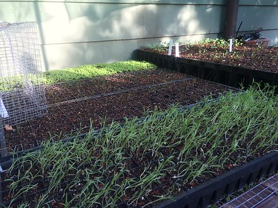 Seedling starts