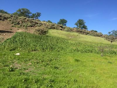 A pure stand of Brassica nigra