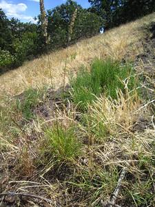 Koelaria cristata on the Ridge
