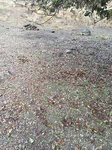 Brassica nigra seedlings
