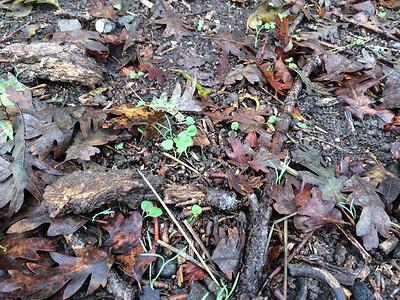 Sidalcea malviflora seedlings