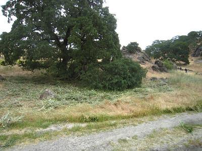 Brasica nigra under oak at west end- after.