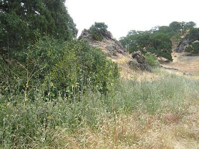 Brasica nigra under oak at west end- before.