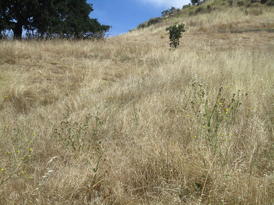 Outliers in the grasses below the large patches of B.nigra.