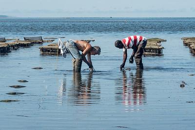 Wellfleet Shellfishing