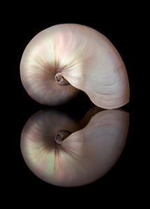 Iridescent Nautilus Shell