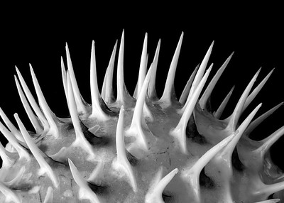 Spines of a Porcupine Fish