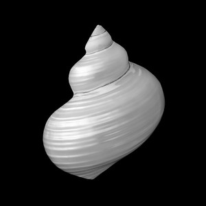 Polished Turban Shell