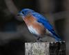 bluebird4495