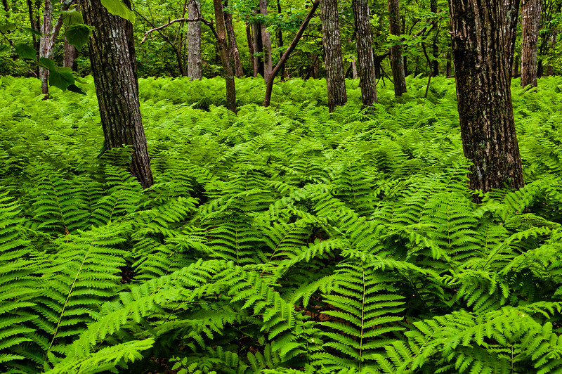 Ferns Near Skyland Resort, Shenandoah National Park, Virginia