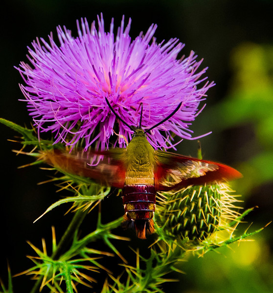 Hummingbird Moth on Thistle, Shenandoah National Park, Virginia