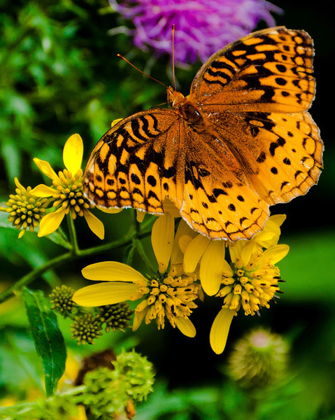 Great Spangled Fritillary Butterfly, Shenandoah National Park, Virginia
