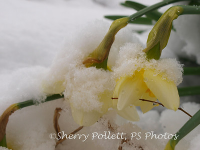 These poor daffodils just bloomed over the weekend (it was 70 degrees here!).  The snow just beat them down.