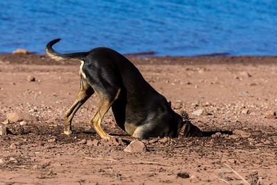 Bottoms Up Dog ©2017 Sherie Croft