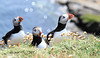Atlantic puffins, Shetland islands
