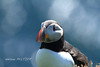 Atlantic puffin, Shetland islands