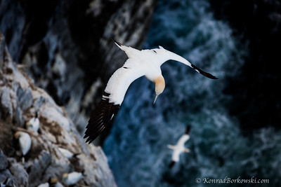 Gannets, Isle of Noss