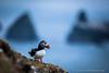 Puffin, Fair Isle, Shetland