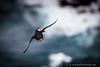 Puffin in flight, Fair Isle, Shetland