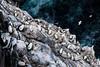 Gannets Colony, Isle of Noss, Shetland